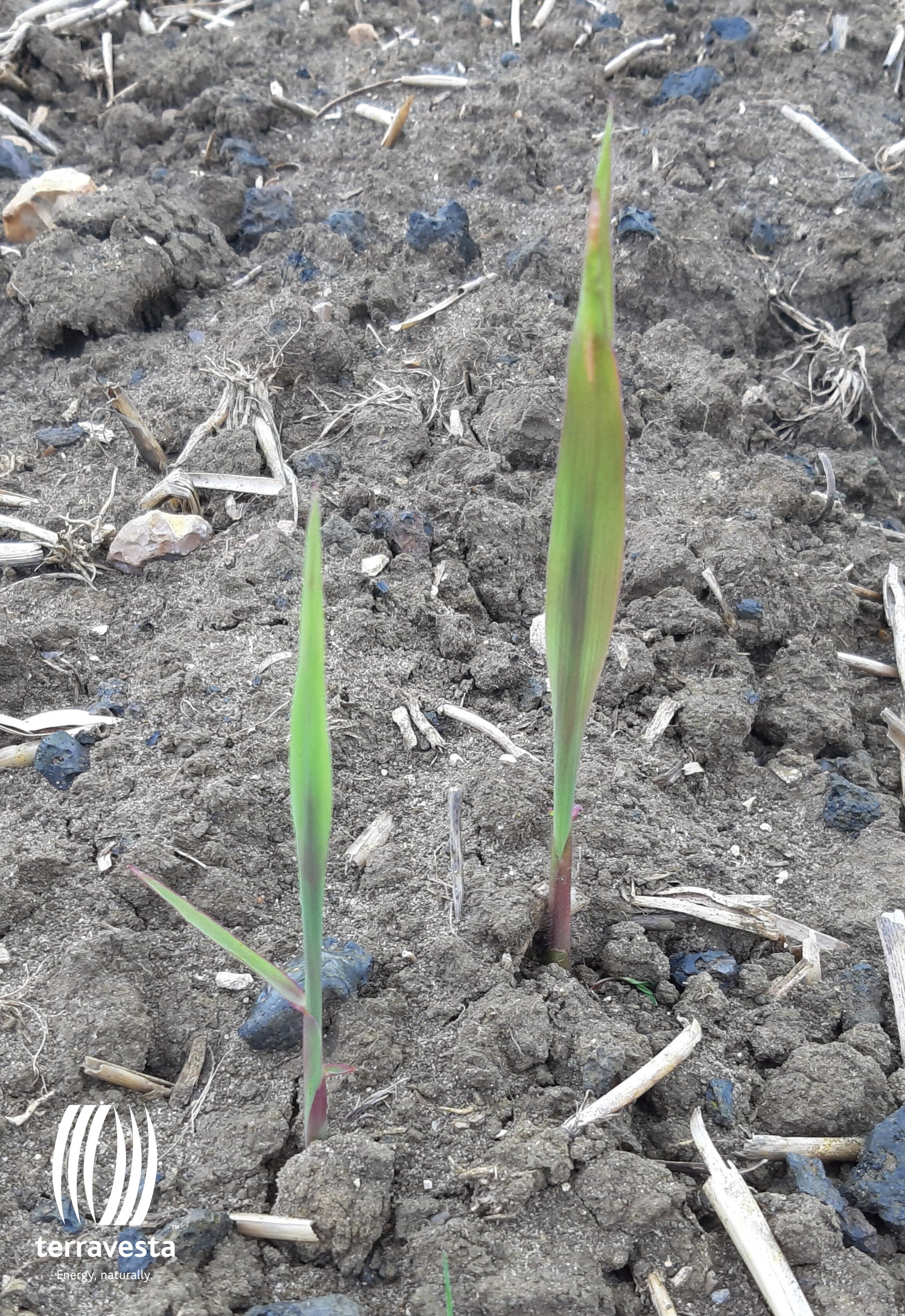 Newly Emerging Miscanthus Stems