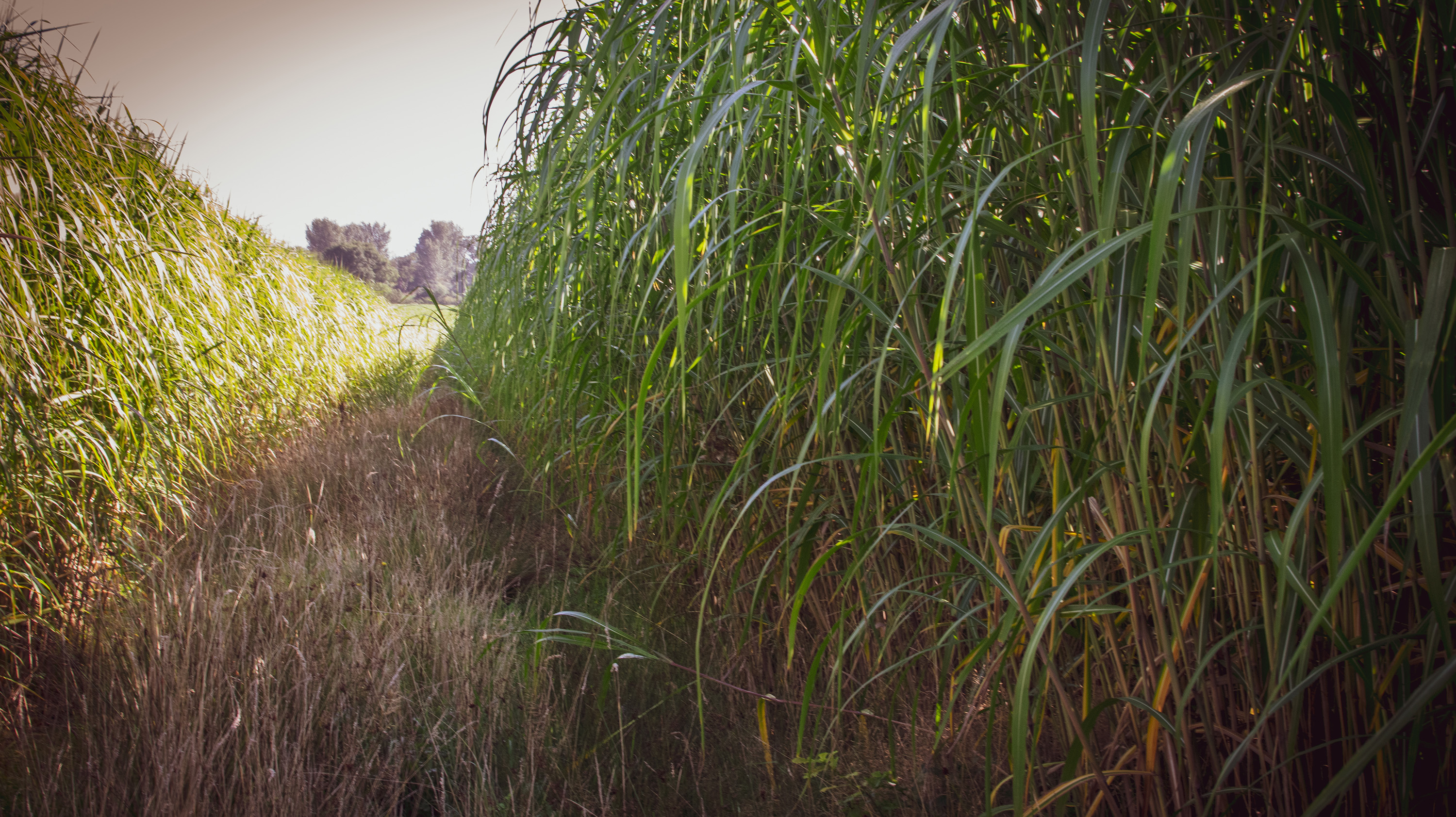 Miscanthus in field